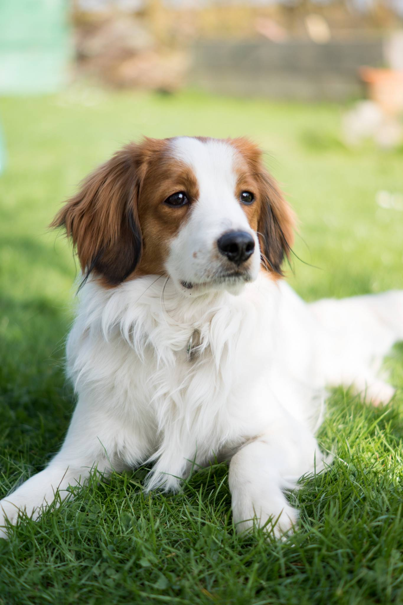 Takeover Knut: Happy Birthday to me!, Kooikerhondje, Knut, Kolumne, amigaprincess, Blogger
